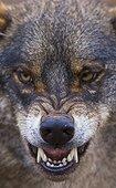 Portrait of Iberian wolf growling Spain