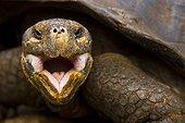 Portrait of Galapagos giant tortoises Santa Cruz Galapagos