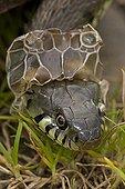 Grass Snake shedding skin England