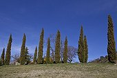 Mediterreanean cypress at spring Provence France