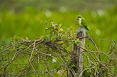 Monk Parakeet on a fence post Pantanal Brazil