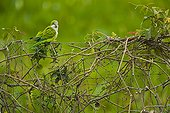 Monk Parakeet on a fence Pantanal Brazil