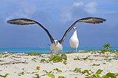 Laysan Albatross flying away Sand Island