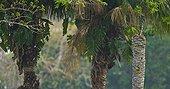 Monk parakeet at nest on Palm trunk Pantanal Brazil