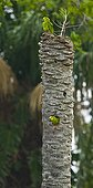 Monk parakeet at nest on Palm trunk Pantanal Brazil