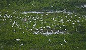 Great white egret fishing in river Pantanal Brazil