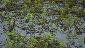 Rufescent Tiger-Heron standing in water Pantanal Brazil