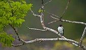 Black-tailed Tityra on a branch Pantanal Brazil