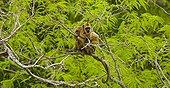 Black howler monkeys on a branch Pantanal Brazil