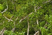 Black howler monkey on a branch Pantanal Brazil
