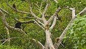 Black howler monkeys on branch Pantanal Brazil