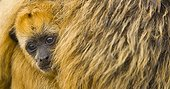 Black howler monkey young Pantanal Brazil