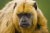 Black howler monkey female Pantanal Brazil