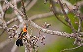 Troupial on a branch Pantanal Brazil