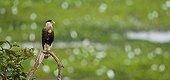 Forster's caracara on a branch Pantanal Brazil