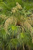 Forster's caracaras on a branch Pantanal Brazil