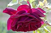 Old Rose flowers at spring in Provence France
