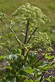 Inflorescence of Angelica in the spring in Provence France