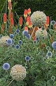 Great globethistles in bloom in a garden