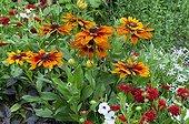 Black-eyed Susan 'Golden Brown' in bloom in a garden