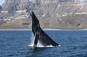 A breaching humpback whale Gulf of California