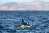 A leaping mobula ray Gulf of California