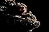 Portrait of a  Scorpionfish Tahiti