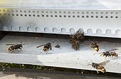 Asian hornets attacking bees in a hive ; A hive exhausted by the hornets has only a few bees. The hive will now be looted of its honey and brood. INRA Bordeaux.