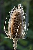 Fuller's teasel in fruit in autumn