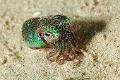 Berry's Bobtail Squid Tahiti
