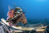 Red Lionfish over a trunk Reunion