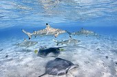 Black Tip Reef Shark and Pink Whipray in a lagoon