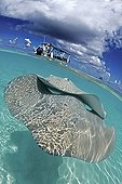 Pink Whipray near a boat in a lagoon French polynesia