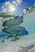 Humphead Wrasse on water surface Fakarava French polynesia