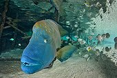 Humphead Wrasse under a pontoon Fakarava French polynesia