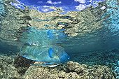 Humphead Wrasse under surface Fakarava French polynesia
