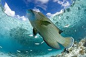Humphead Wrasse in a lagoon Fakarava French polynesia