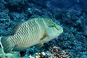 Young Humphead Wrasse Fakarava in  French polynesia