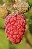 Raspberry 'Polona'