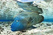 Humphead Wrasse under water surface French Polynesia