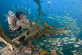 Red Lionfish on a wreck Nosy Be Madagascar