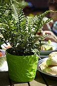 Blechnum on garden table