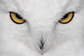 Close the eyes of a Snowy Owl France