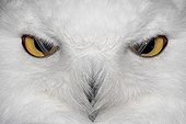 Close the eyes of a Snowy Owl France ; The nictitating membranes pass before his eyes.