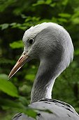 Portrait of a Blue Crane ; From southern Africa