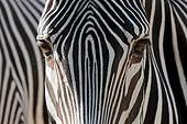 Close up of a Grevy's Zebra