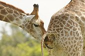 Male giraffe testing the receptivity of a female PN Kruger