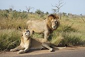 Couple of Lions in the Kruger NP in RSA ; The female is in heat