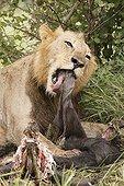 Lion mangeant un Gnou dans le PN Kruger en RSA