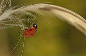 Sevenspotted Ladybeetle walking on a Mallard duck feather